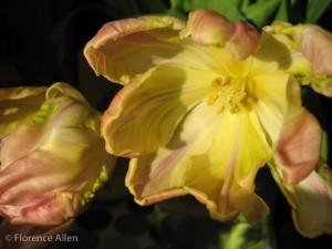 Blank Photo Art Card, Tulips