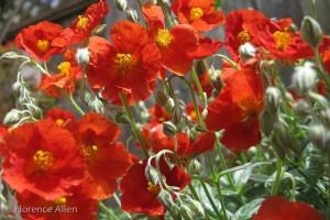 Sunrose - Helianthemum
